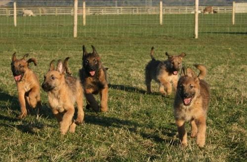 Belgian Laekenois puppies running on the field
