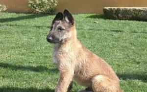 Belgian Laekenois puppy developmental stages and their behavior