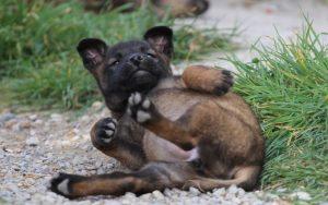 Belgian Malinois Puppies development and behavior