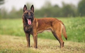 Belgian Malinois Training and Strategies