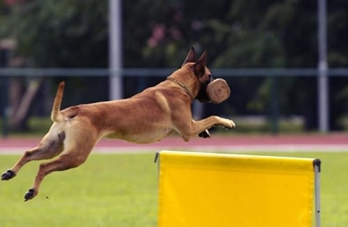 Belgian Malinois agility training