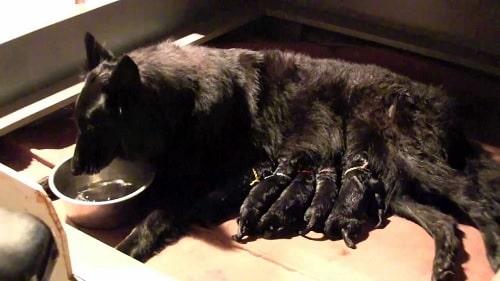 Belgian Sheepdog feeding her puppies