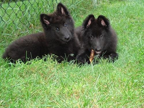 Belgian Sheepdog puppies sitting