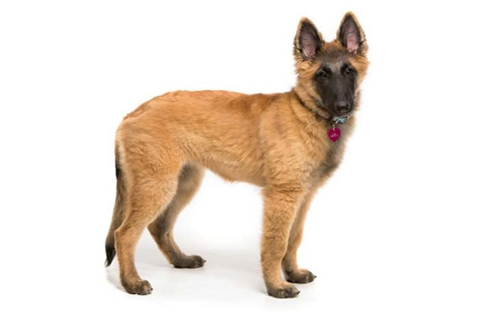 Belgian Tervuren puppies development stage and their behavior