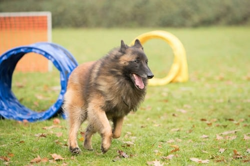 Belgian Tervuren running in the field