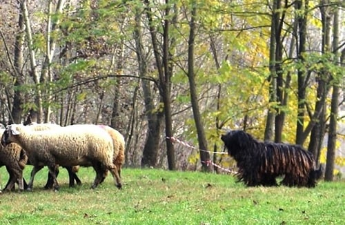 Bergamasco Sheepdog herding sheep