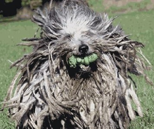 Bergamasco Sheepdog playing dog toy