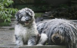 Bergamasco Sheepdog puppies development stage and behavior