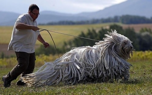 Bergamasco Sheepdog with its master