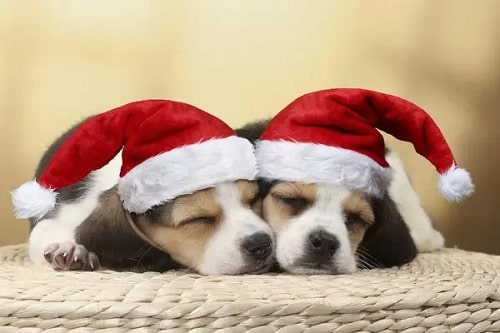 Cute Beagle puppies with christmas hat on