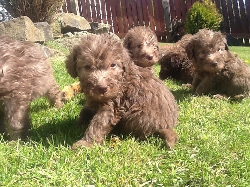 Cute Bedlington Terrier Puppies playing