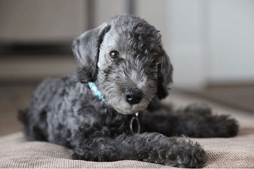 Cute Bedlington Terrier Puppy sitting