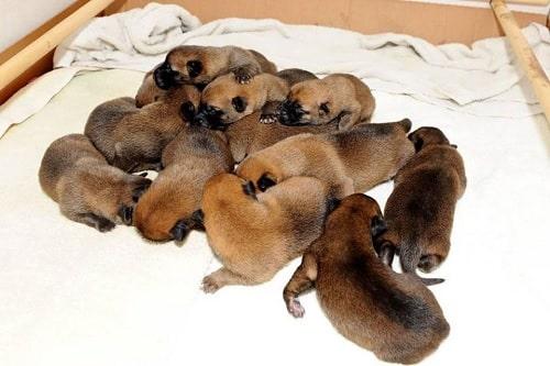 Newborn Belgian Laekenois puppies
