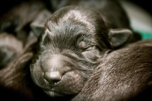 Newborn Bergamasco Sheepdog puppy