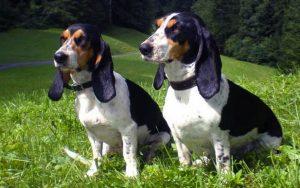 Schweizer Laufhund dog breeds information