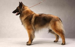 Belgian Tervuren diets and feeding methods