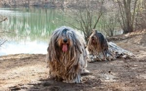Bergamasco Sheepdog Feeding Methods
