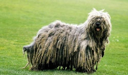 Bergamasco Sheepdog in the ground