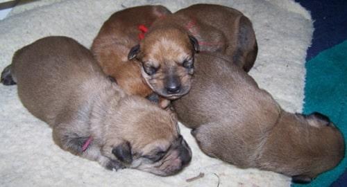 Berger Picard newborn puppies