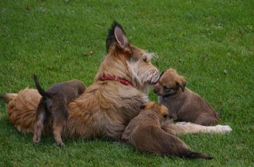 Berger Picard with its puppies