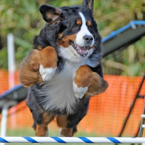 Bernese Mountain Dog agility
