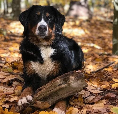 Bernese Mountain Dog holding wood