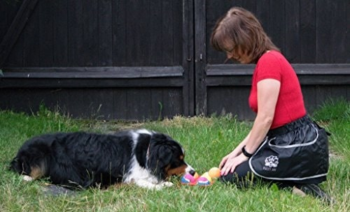 Bernese Mountain Dog learning tricks