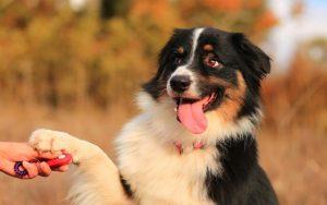 Bernese Mountain Dog training methods and strategies