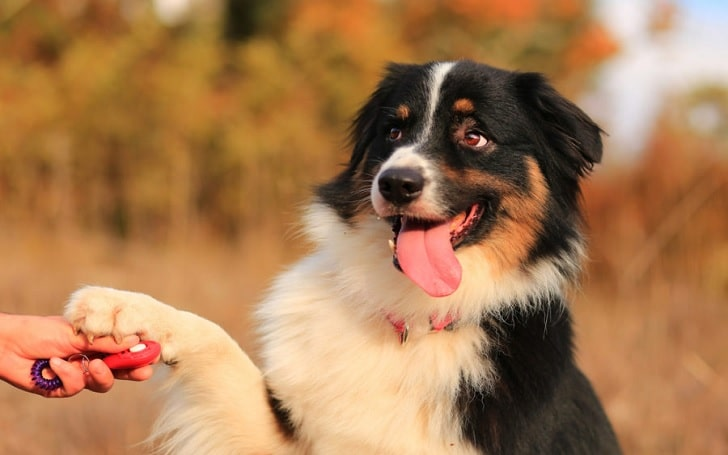 Bernese Mountain Dog training methods and strategies