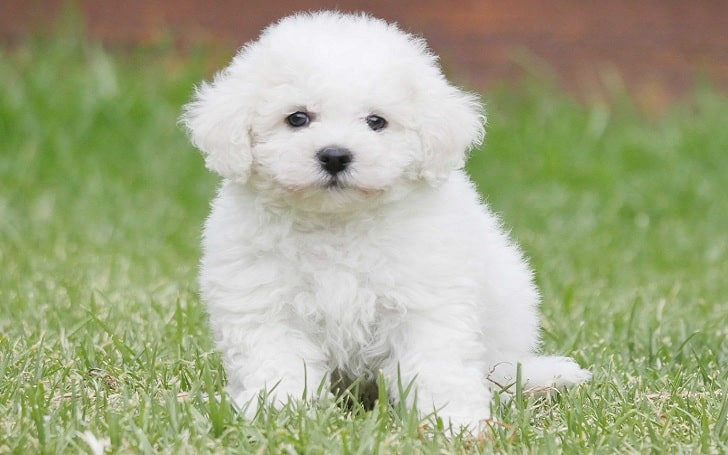 Bichon Frise puppies development stage and their behavior