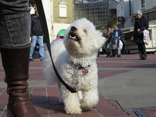 Bichon Frise walking on a leash