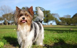 Biewer Terrier Training Methods and Strategies