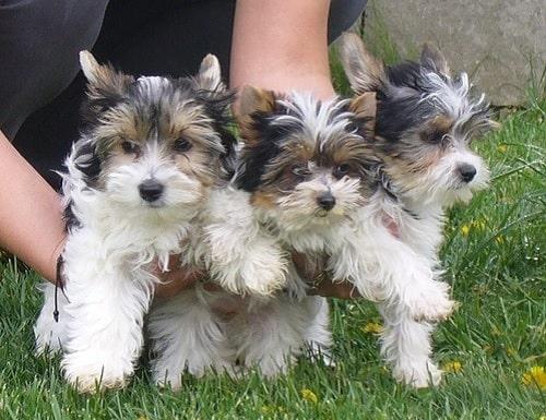 Biewer Terrier cute little Puppies