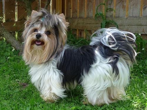 Biewer Terrier in the yard
