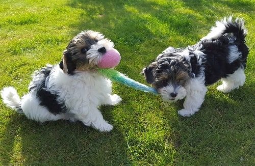 Biewer Terrier puppies playing