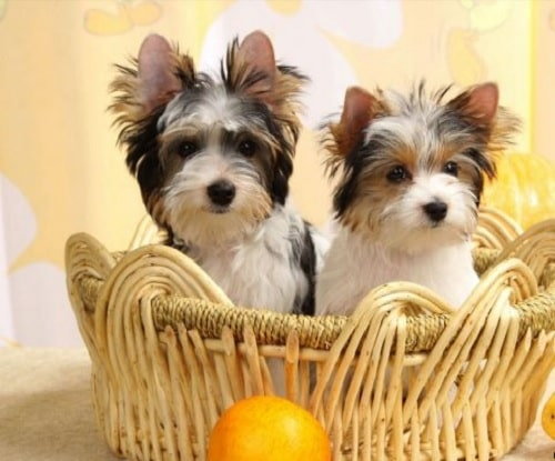 Biewer Terriers on the basket