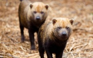 Bush Dog information