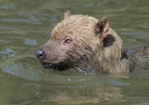 Bush Dog swimming