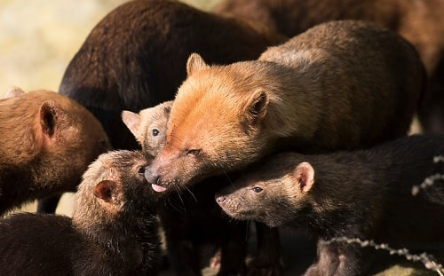 Bush Dog with its puppies