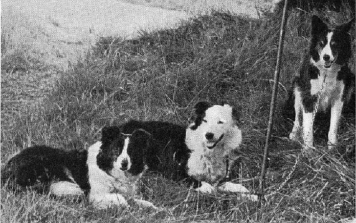 Cumberland Sheepdog Information