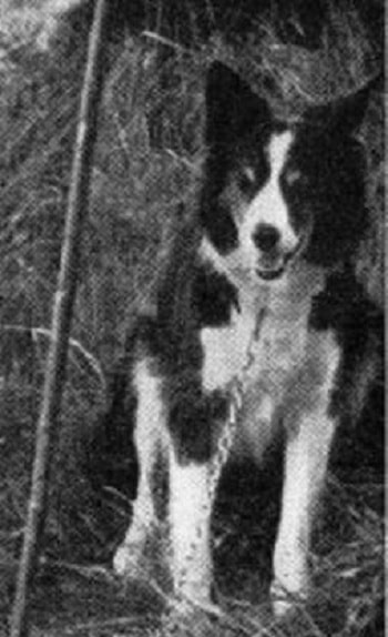 Cumberland Sheepdog sitting