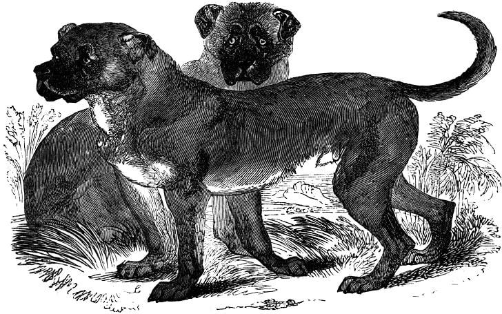 Dogo Cubano Dog breeds information
