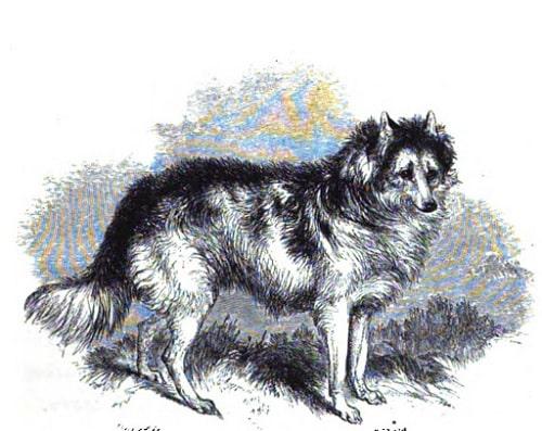 Hare Indian Dog sketch