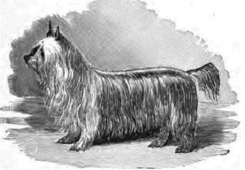 Paisley Terrier
