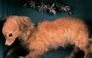 Turnspit Dog Information