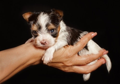a man holding Biewer Terrier puppy