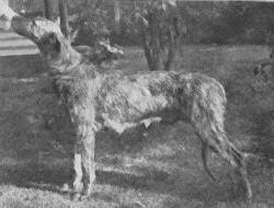 An old picture of a now-extinct Alaunt dog.