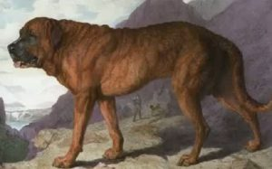 A brown Alpine Mastiff standing.