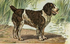 An old sketch of an English Water Spaniel.