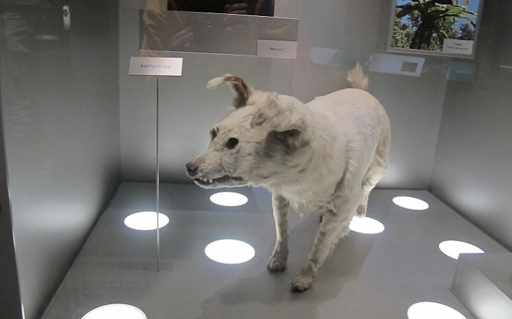 A statue of a standing Kuri dog in a museum.